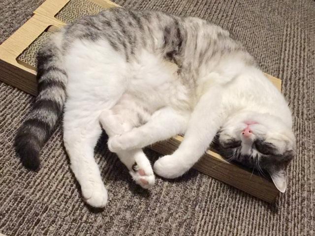 我が家のダラ猫、24時間ダラけてます